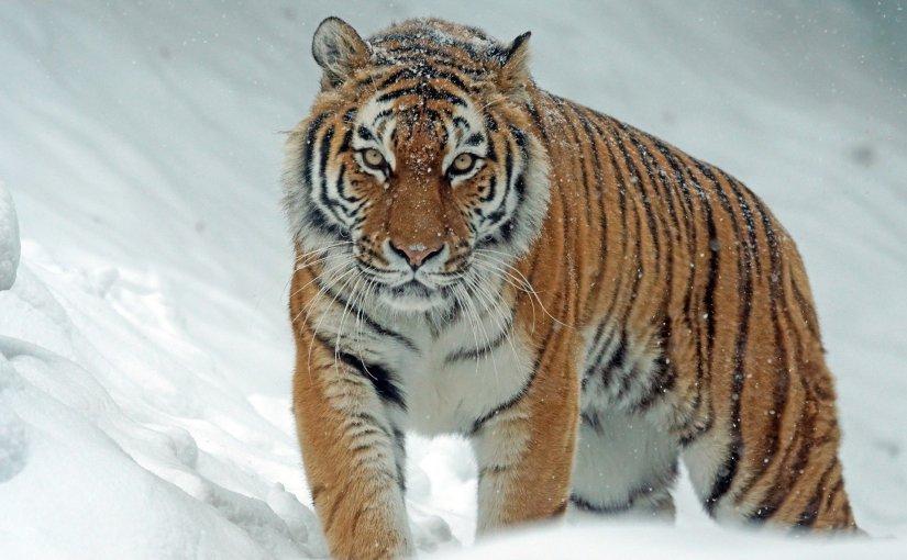 """Polly Clark – """"Tiger"""""""